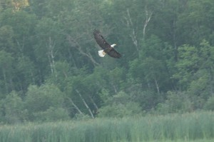 soaring-bald-eagle